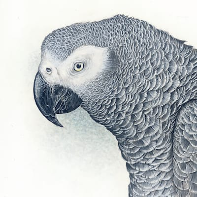 watercolour and gouache painting of an African Grey Parrot by Roy Aplin