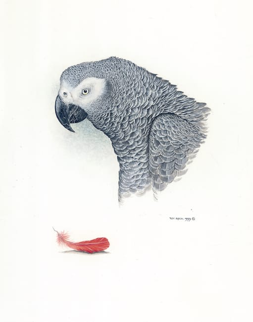 African Grey Parrot painting by Roy Aplin