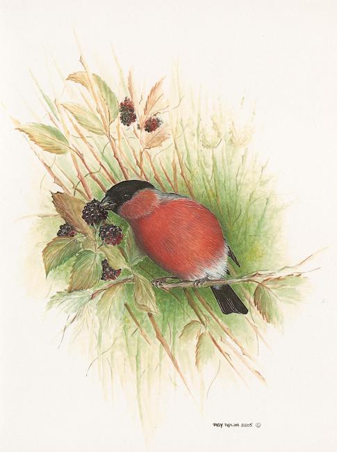 Bullfinch on Blackberries painting by Roy Aplin