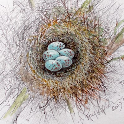 watercolour and pencil painting of bullfinch eggs by Roy Aplin