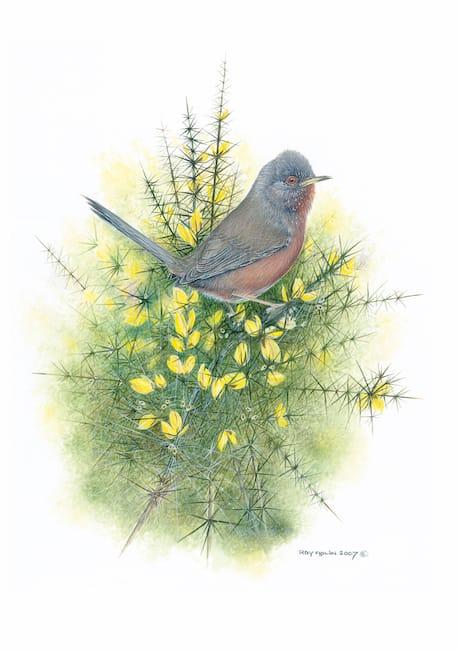 Dartford Warbler painting by Roy Aplin