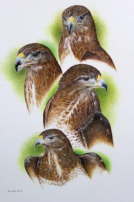 four buzzard head studies painting by Roy Aplin
