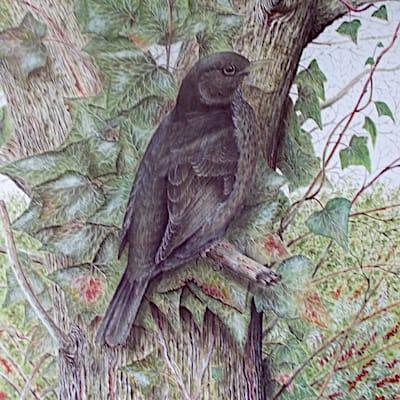 painting of a hen blackbird by Roy Aplin