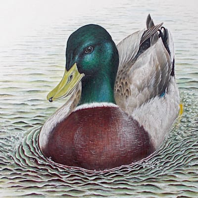 watercolour and gouache painting of a mallard by Roy Aplin