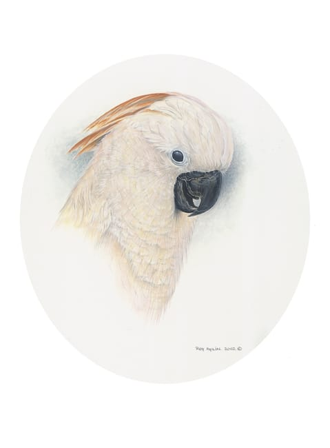 Moluccan Cockatoo painting by Roy Aplin
