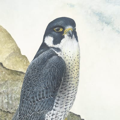 painting of a peregrine falcon by Roy Aplin