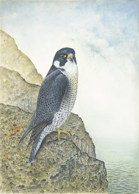 Peregrine Falcon painting by Roy Aplin