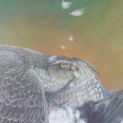 painting of a sparrowhawk by Roy Aplin